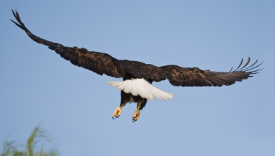 bald-eagle-landing-away-_10j2419-kukak-bay-katmai-national-park-ak